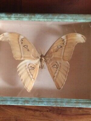 Grand papillon taxidermie Encadre Saturnidae Attacus