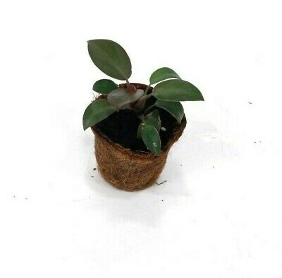 Philodendron Black Cardinal Young Plant - Houseplants