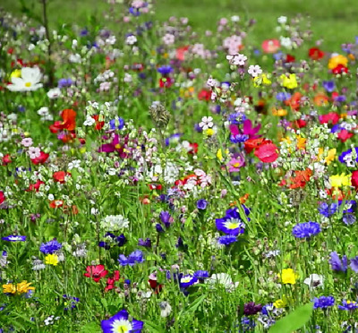 Bee & Butterfly Perennial Wild Flower Plant & Meadow Grass Seed Mix 25g - 200g