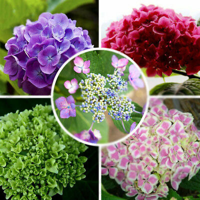 Qa_ 100Pcs Hydrangea Flower Seeds Mixed Color Potted Bonsai Plant Seed Decor N