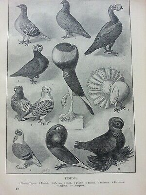 Antique Print C1900 Pigeons Birds Engraving Homing Pigeon Carrier Fantail Sport