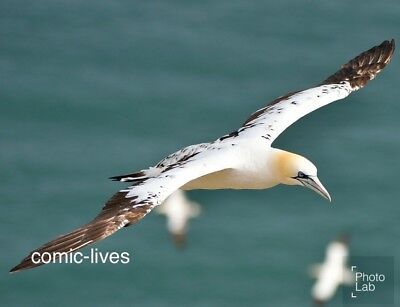 "GANNET Flying over sea Photograph Print 8""x6"" Glossy New Photo Bird In Flight"