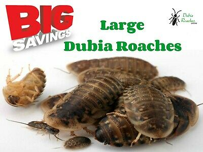Large Dubia Roaches and 50 FREE Mealworms     Dubia Roaches 1 inch in size