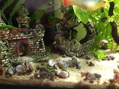 10 Spoty Blue Ramshorn Snails - Algae Eaters - Loach/Pufferfish food