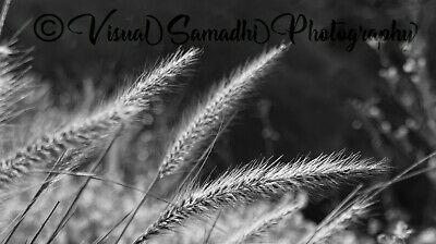 Digital Photograph Wallpaper Image Picture Free Delivery - Cat Tails 1