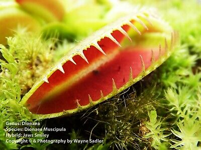 Venus Fly Trap Jaws Smiley Hybrid / Cultivar Dionaea Muscipula House Plants