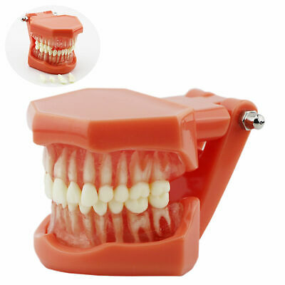Dental Typodont Teeth Model Soft Gum Removable Full Hinge Standard
