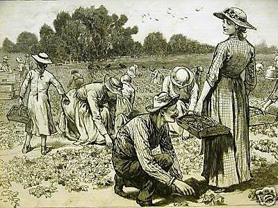STRAWBERRY PICKERS ROSSVILLE STATEN ISLAND NYC 1884 Antique Art Matted