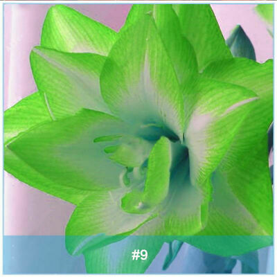 Amaryllis Bulbs Lily Roots Hippeastrum Perennial Resistant Flower Fluffy Balcony