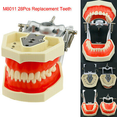 Dental Practice Typodont Teeth Model 28pcs Tooth Compatible Kilgore Nissin 200