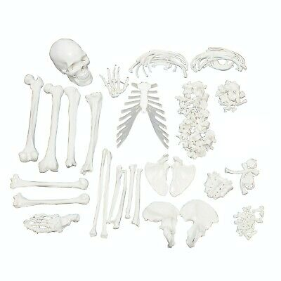 Full Disarticulated Human Skeleton, Anatomy Model with Skull 62 Inches model.