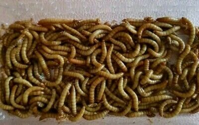 Mealworms for Animals. LIVE Food.Sent 1st class