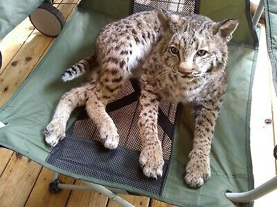 LIFESIZE YOUNG BOBCAT Taxidermy, mount, stuffed fox badger coyote Lynx wolf