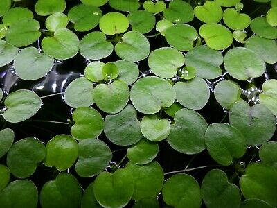 10 Amazon Frogbit (Limnobium Laevigatum) - Floating Plants for Aquarium/Pond