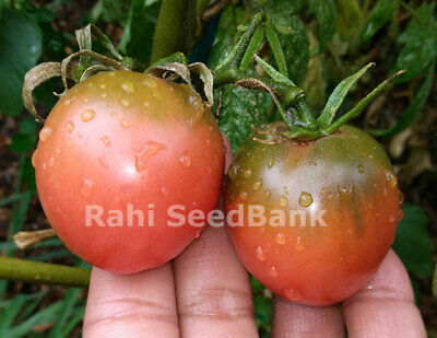 Tomato Hayley's Sweet Mystery  - Exceptionally Sweet & Unique Tomato - 10 Seeds