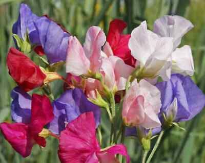 Sweet Pea Mammoth Mix Flower Seeds Lathyrus Odoratus Mixed Colours 25g - 50g