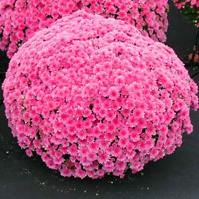100 Pcs Ground-cover Chrysanthemum Seeds Perennial Daisy Flower Seeds 8 Colors