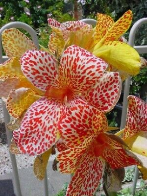 Canna Lily Bulbs Perennial Resistant Tropical Rare Gorgeous Stunning Flowers Hot