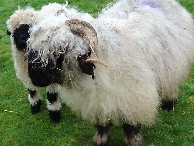 Raw Valaise black nose sheep fleece wool unwashed and unpicked 2 kg
