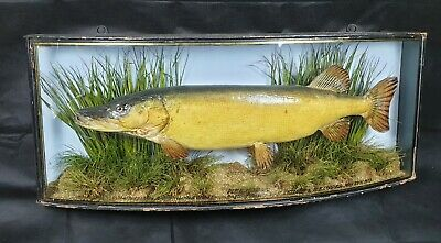 Victorian taxidermy antique stuffed PIKE cased fish cooper j.cooper homer griggs