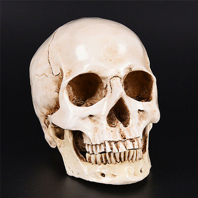 Human Skull white Replica Resin Model Medical Lifesize Realistic NEW 1:1 A DTS