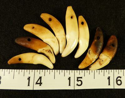 (8) Sioux Indian Drilled Canine Coyote Teeth Ornamental Beads Very Old!!