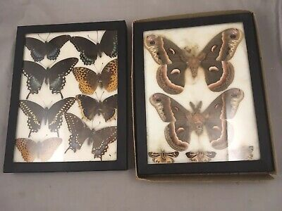 2 Butterfly Specimen Taxidermy Mounted Display Framed Entomology Specimens