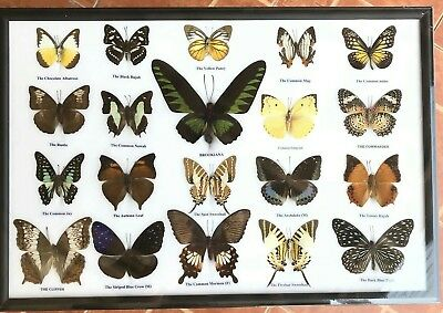 Real Giant Atlas Moth Male 20 Butterfly Taxidermy Insect In Frame #04