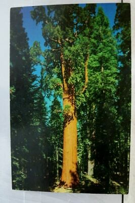 California CA Sequoia National Park General Sherman Tree Giant Forest Postcard