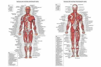 256516 01 Human Body Anatomical Chart Muscular System GLOSSY POSTER PRINT AU