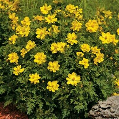 1 oz Yellow Cosmos Seeds Tall Variety 4000ct Sulfur Cosmos Bulk Cosmos Seeds