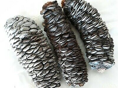 3 Banksia Pods Dry and Sturdy 15-16cm Long for Natural Craft Projects or Decor