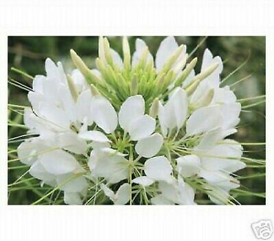 BOGO 50/% off SALE Mixed colors 100 Seeds Cleome