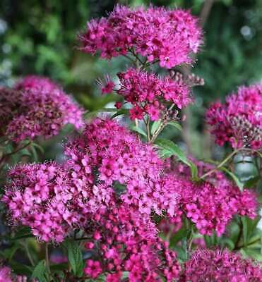 Rote Sommerspiere 1,39 € pro St1 1 x Spiraea japonica /'AnthonyWaterer/'