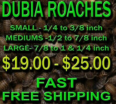 Dubia roaches - small, medium and large, FAST FREE SHIPPING from ATLANTA, in CUP