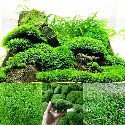Natural Microlandscape Moss Fish Aquarium Plants Live Carpet Home Plant DIY