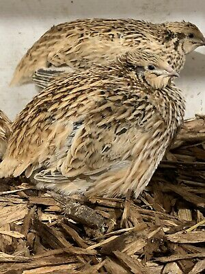 12 Organic Pure Jumbo Golden Quail Hatching Eggs Fertile HIGH FERTILITY