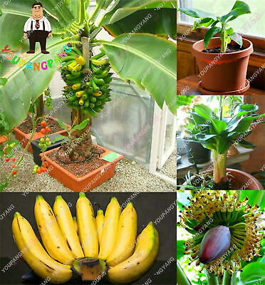 Banana Bonsai Bonsai Seeds Plants Fruit Vegetables Organic Rare 100pcs/bag