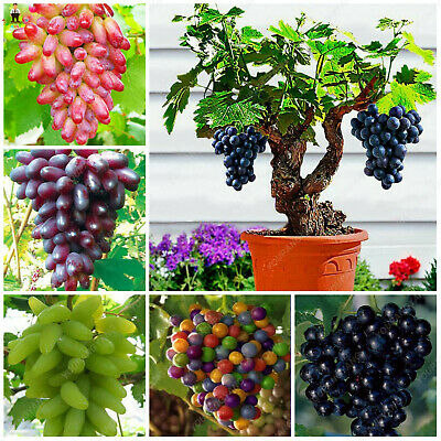 Colorful Grape Bonsai Seeds Plants Fruit More Particles Black Home 100pcs