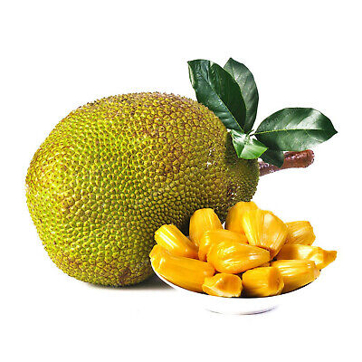 Jackfruit Bonsai Bonsai Seeds Plants Tree Organic Tropical Edible Garden