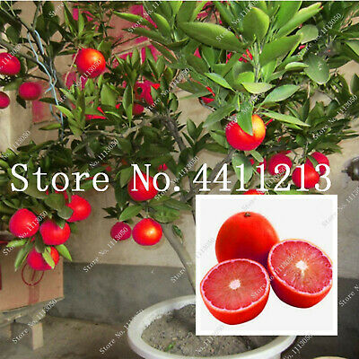 Lemon Tree Also Seeds Plants Is Blood Orange Organic Fruit Bonsai Red 15pcs