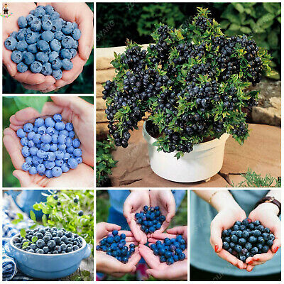 Blueberry Bonsai Fruit Seeds Plants Outdoor Tree Highbush Blueberries 100pcs