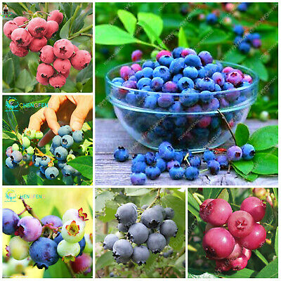 Delicous Blueberry And Seeds Plants Sweet Fruit Bonsai Tree Para Fresh As 50pcs