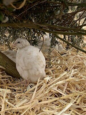12 Organic White Pure Japanese Quail Hatching Eggs HIGH FERTILITY