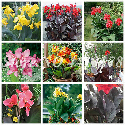 CANNA LILY MIX exotic tropical flowering pond ginger lilies bulbs seed 10 SEEDS