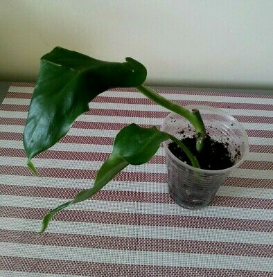 """🌿Aroid Live 🌿"""" Green Emerald""""🌿 Climbing Philodendron , 🌿Rooted Cutting🌿G/G"""