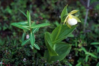 Cypripedium cordigerum select