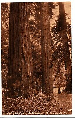 In the Redwoods Muir Woods Mt. Tamalpais CA Vintage Postcard 81-5 Marin