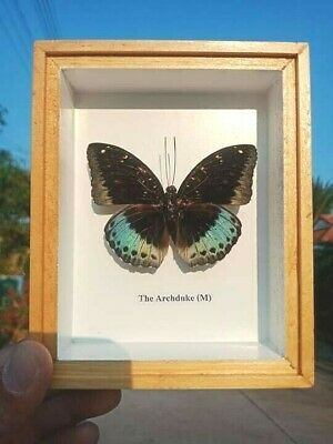 Taxidermy Real Rare Butterflies The Archduke( M ) insects in glass frames, gift