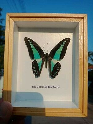 Taxidermy Real Rare Butterflies The Common Bluebotle insects in glass frames